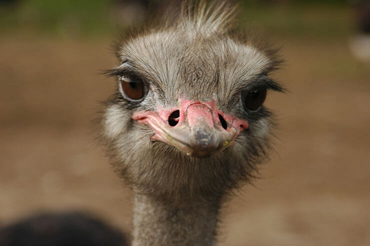Ostrich aspects
