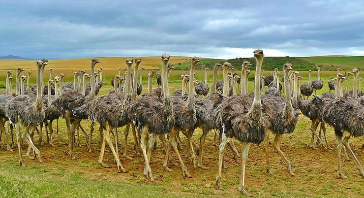 Ostrich conservation