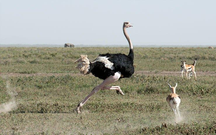 Ostrich running