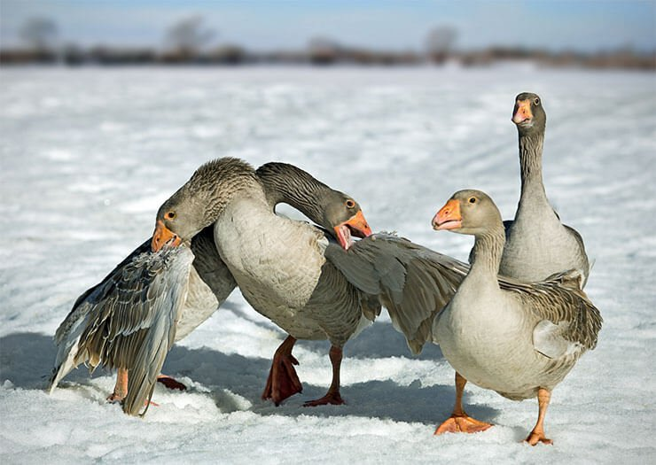 Tula fighting geese aspects