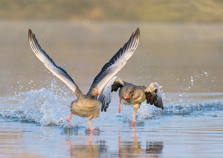 Tula fighting geese distribution