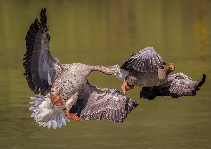Tula fighting geese fight