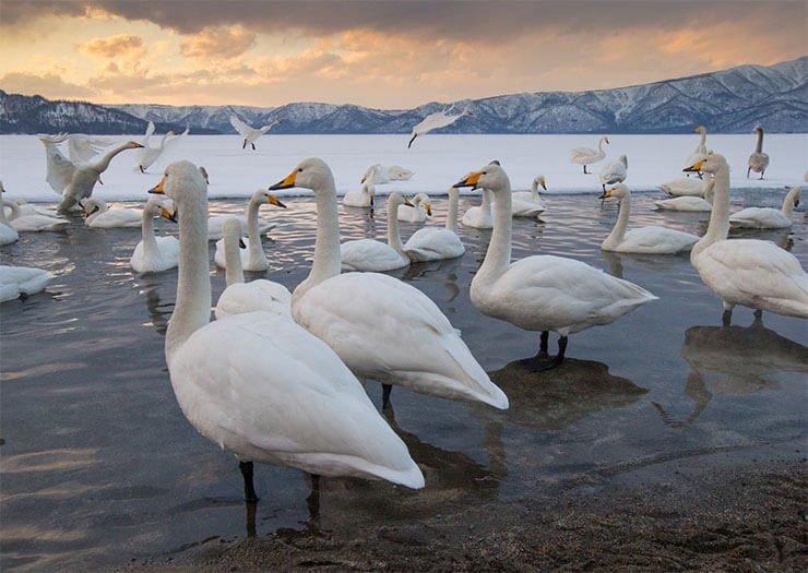 Whooper swan distribution