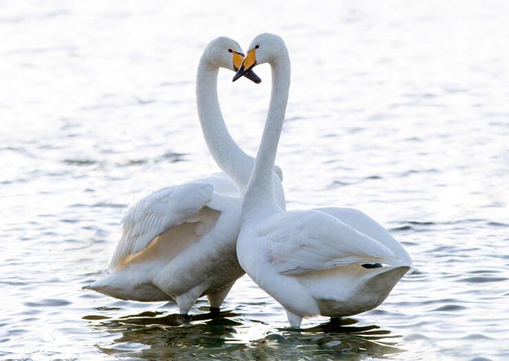 Whooper swan kiss