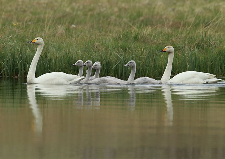 Whooper swan with chicks