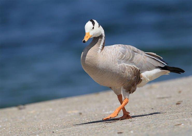 Bar-headed goose aspects