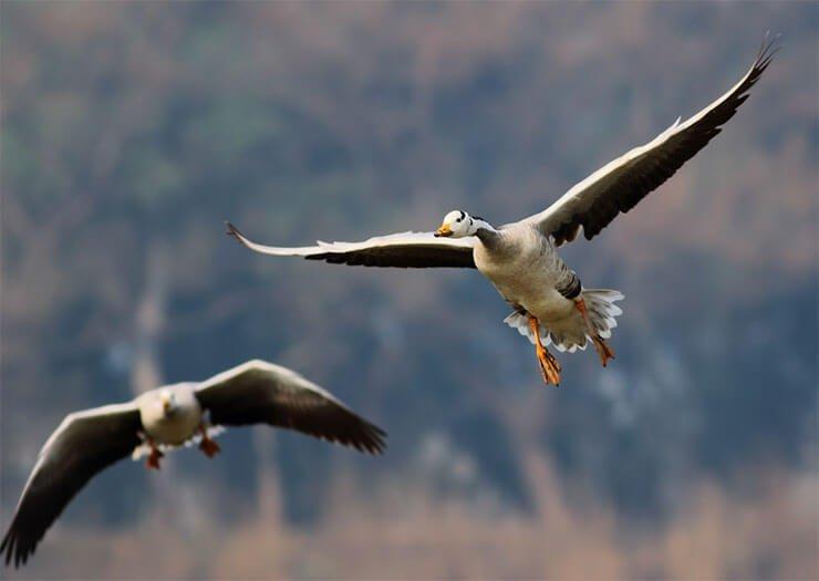 Bar-headed goose flight