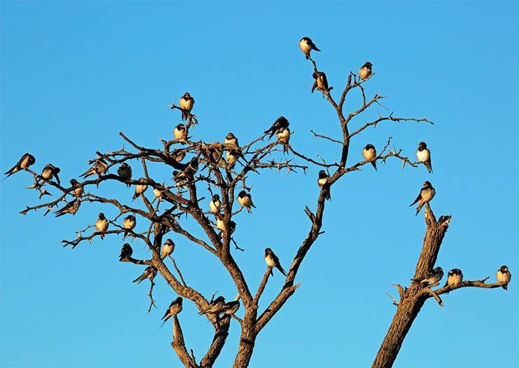 Barn swallow distribution