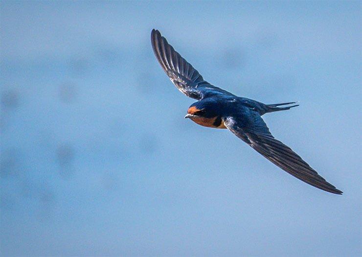 Barn swallow in-flight