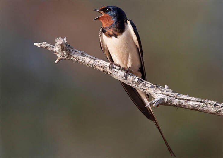 Barn swallow vocalization
