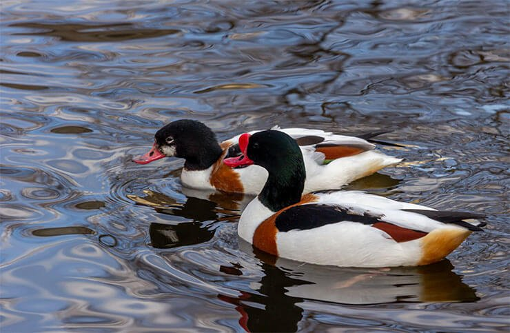 Common shelduck distribution