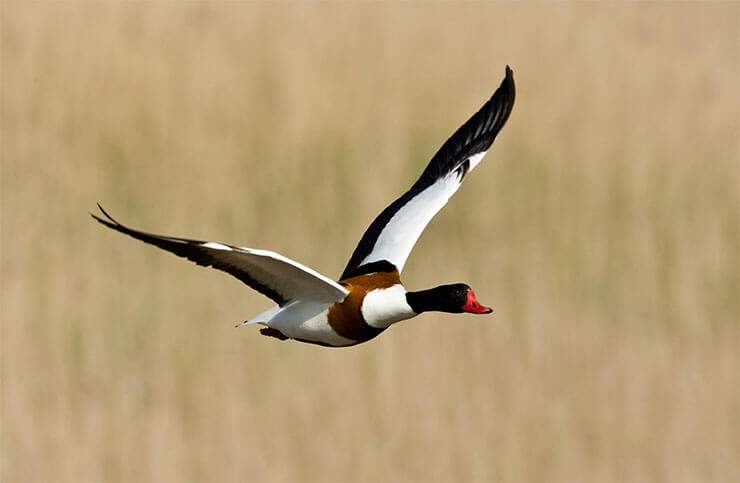 Common shelduck in flight