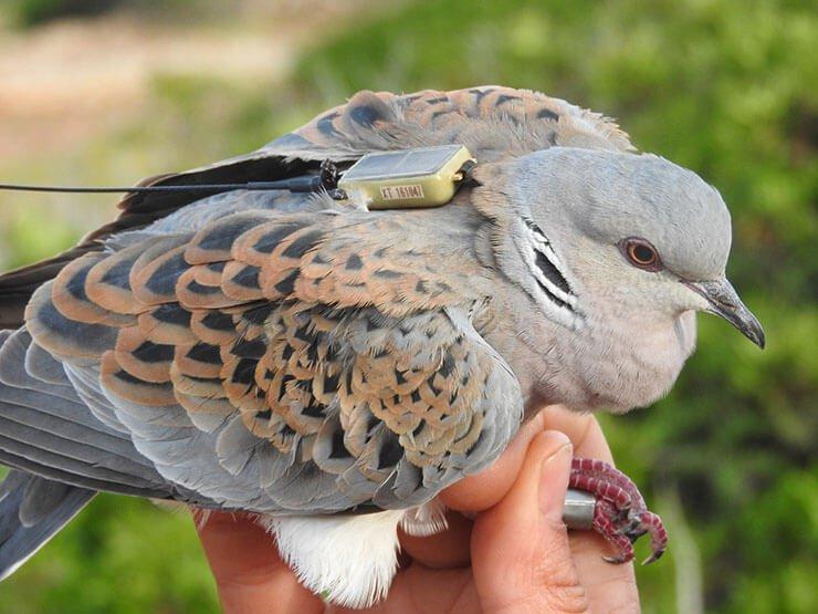 European turtle dove conservation
