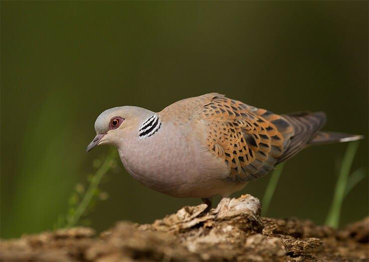 European turtle dove diet