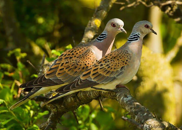 European turtle dove pair
