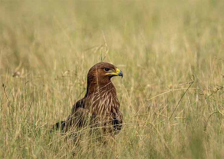 Greater spotted eagle aspects