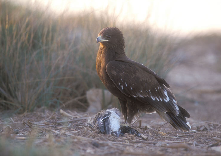 Greater spotted eagle diet