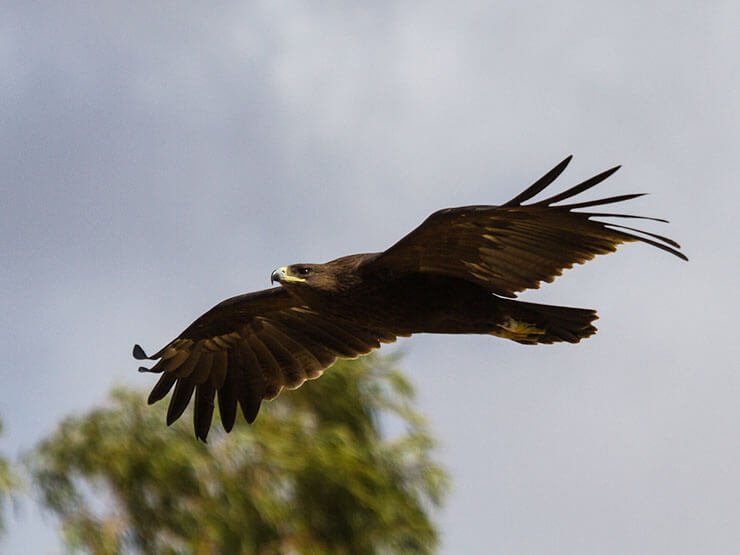 Greater spotted eagle in-flight