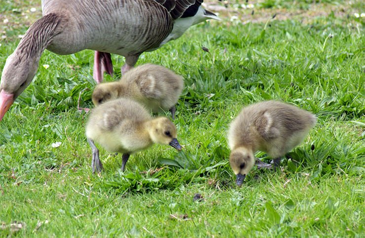 Greater white-fronted goose breeding