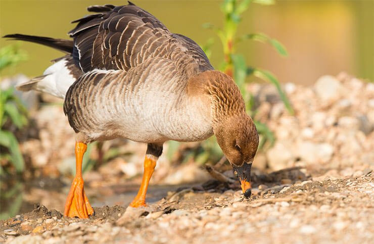 Greater white-fronted goose diet