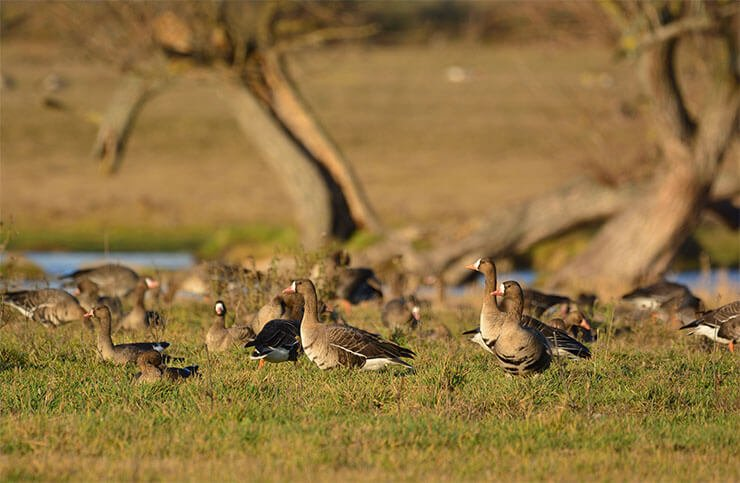 Greater white-fronted goose distribution