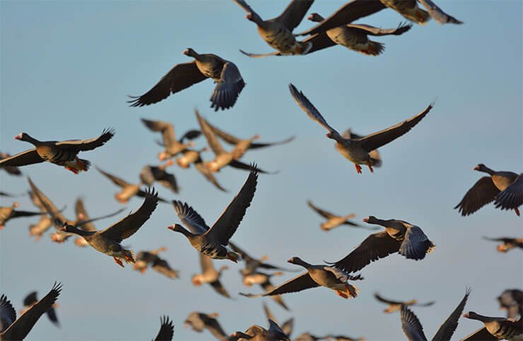 Greater white-fronted goose flight