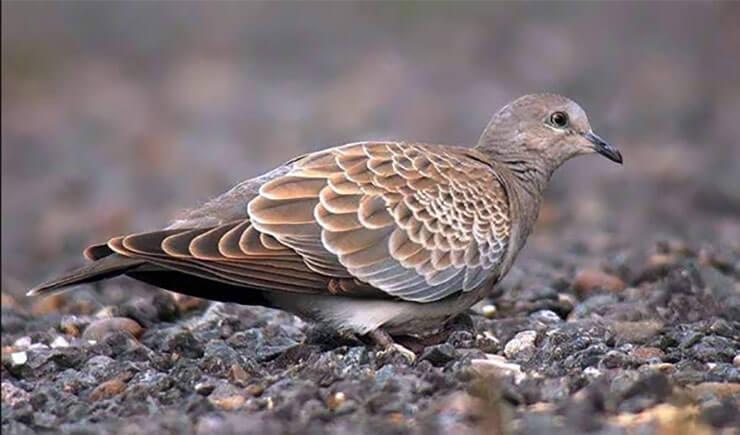 Juvenile European turtle dove