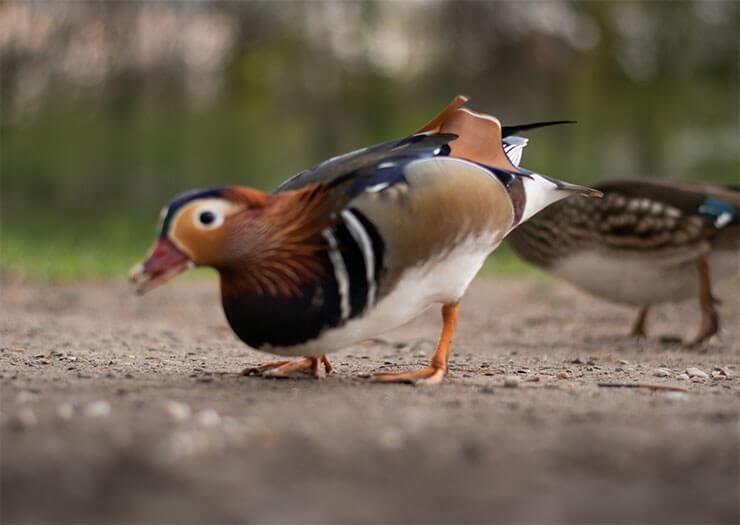 Mandarin duck diet