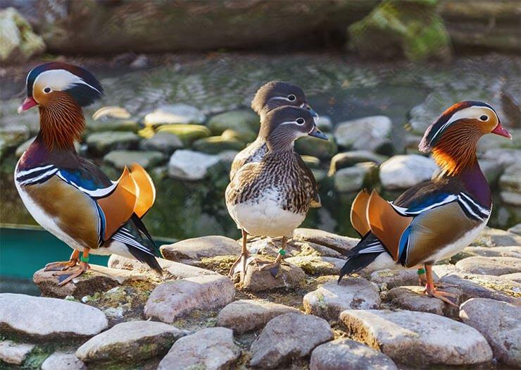 Mandarin duck distribution