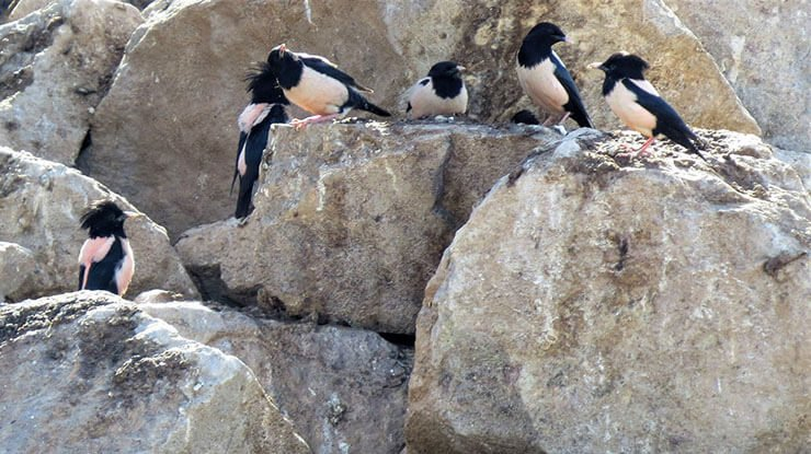 Rosy starling colony