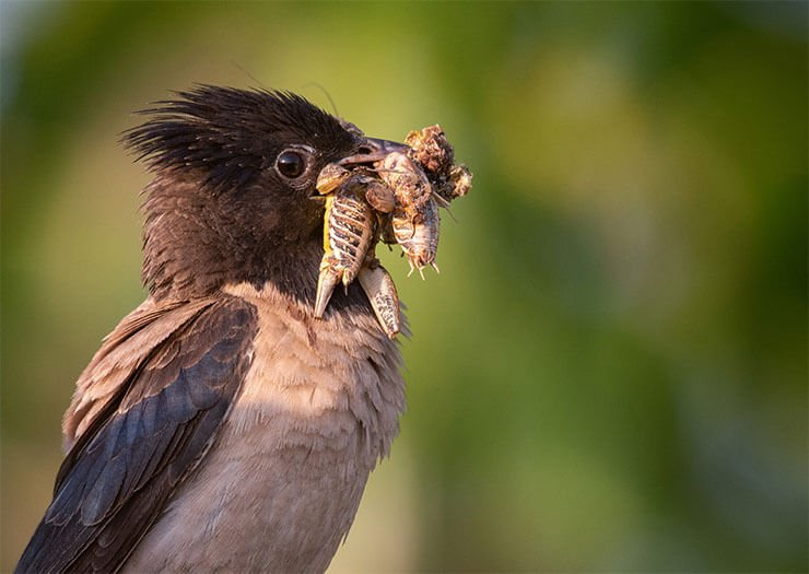 Rosy starling diet