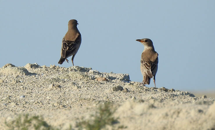 Rosy starling juvenile