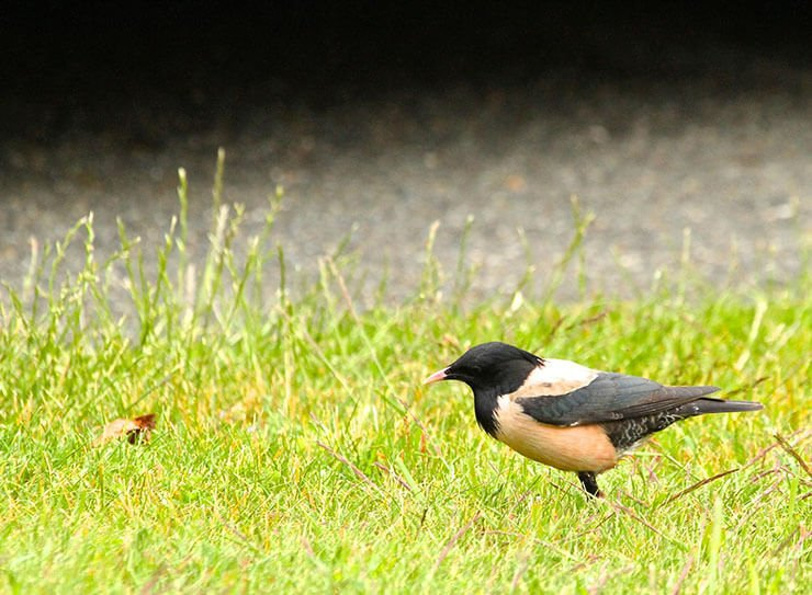 Rosy starling male