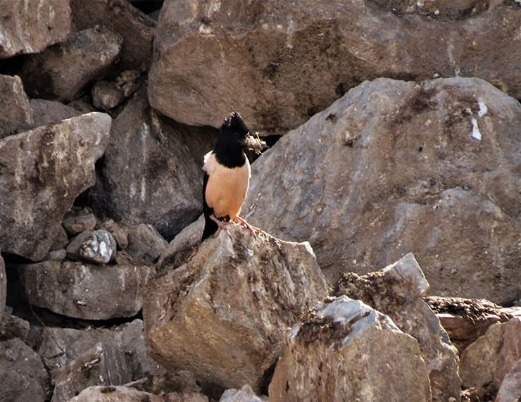 Rosy starling with locust
