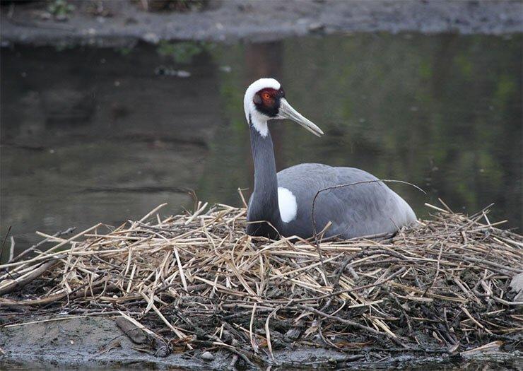 White-naped crane breeding