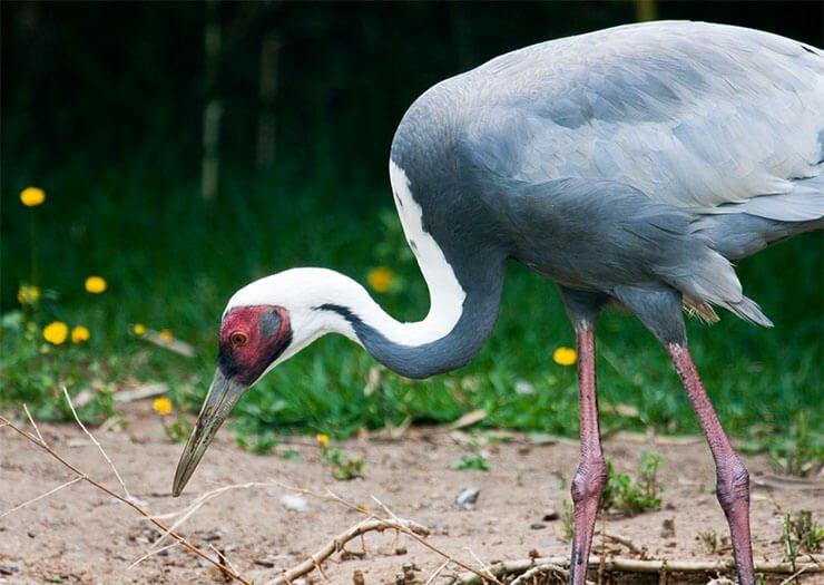 White-naped crane diet