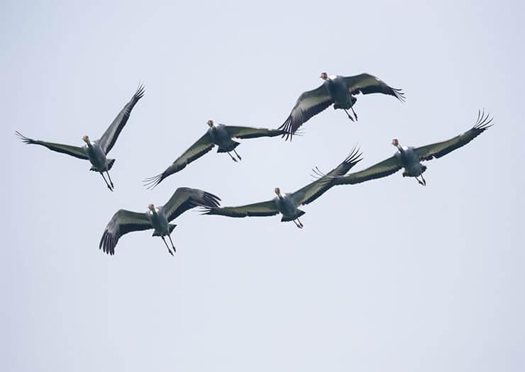White-naped crane flight