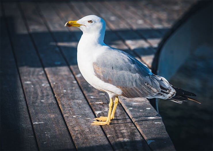 Yellow-legged gull aspects