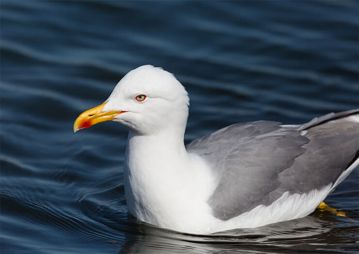 Yellow-legged gull conservation