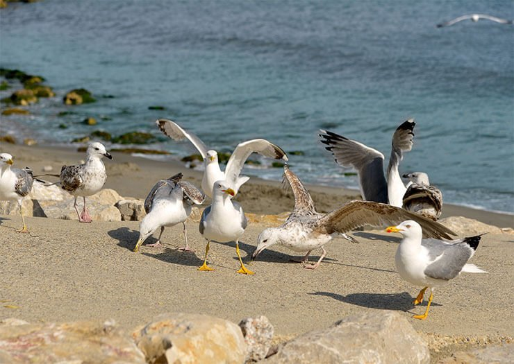 Yellow-legged gull distribution