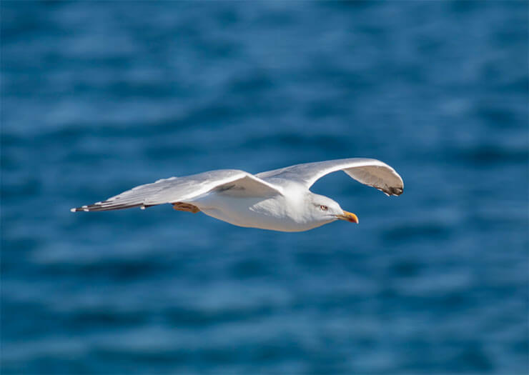 Yellow-legged gull in flight