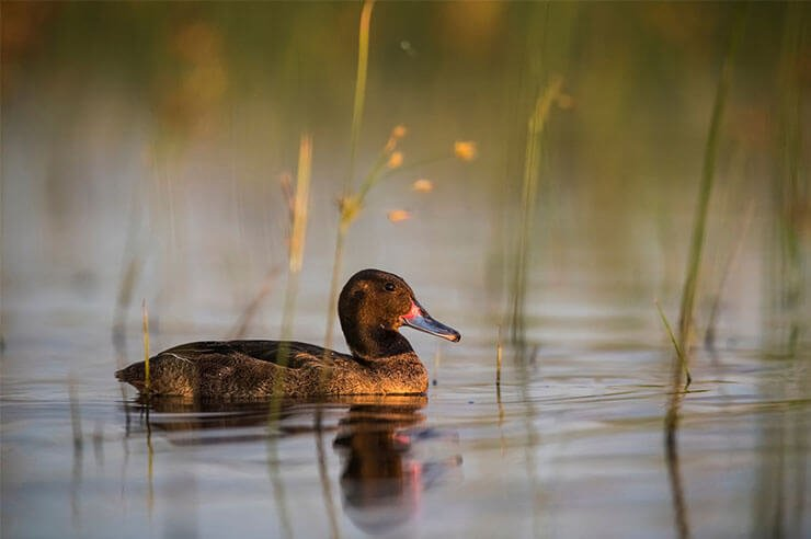 Black-headed duck aspects