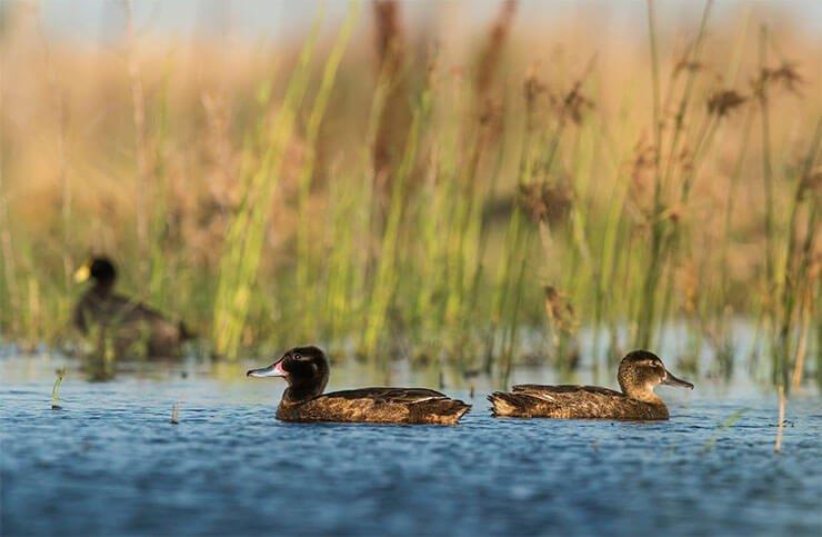 Black-headed duck pair