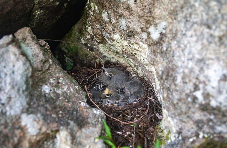 Black redstart nest