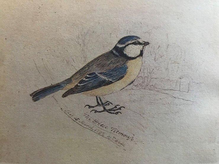 Blue tit illustration