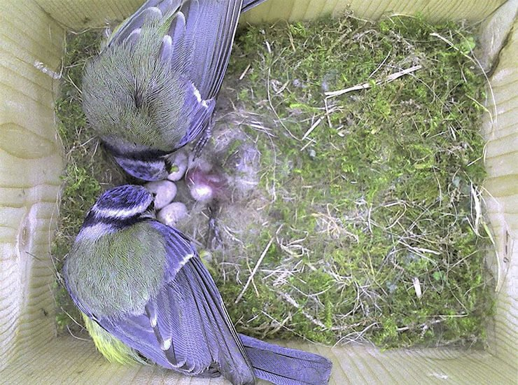 Blue tit nest