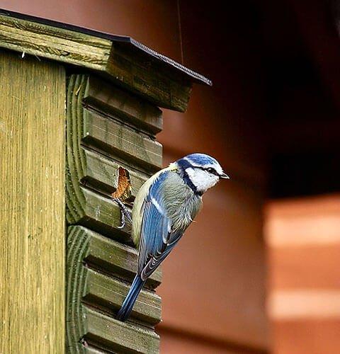 Blue tit on a nest box