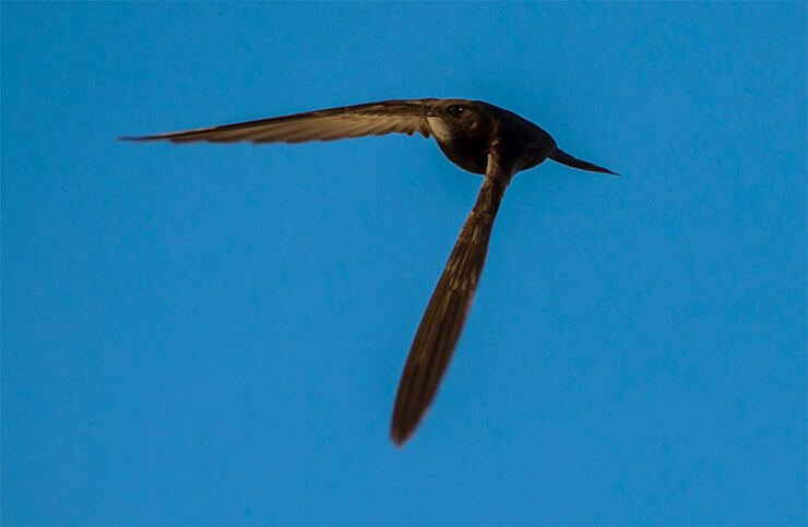 Common swift flight