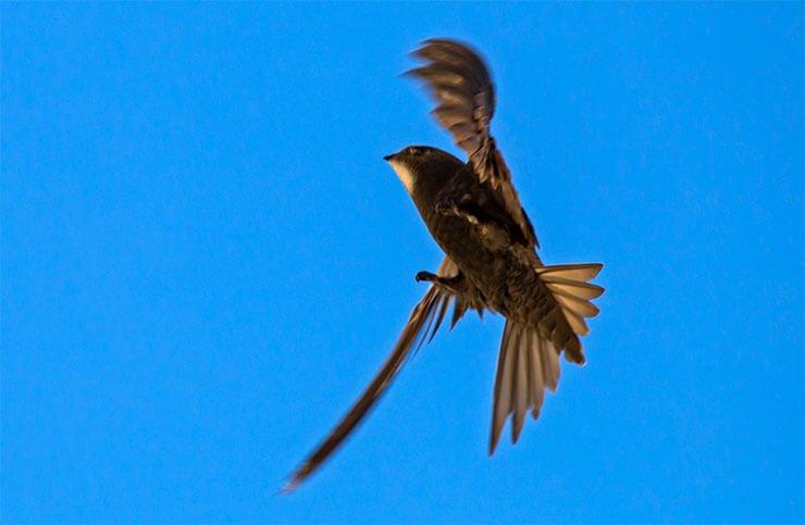 Common swift plumage