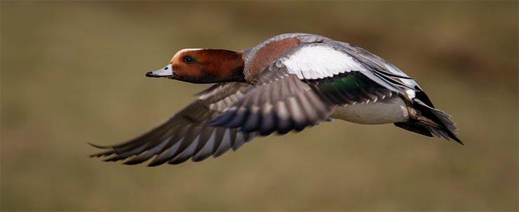 Eurasian wigeon flight